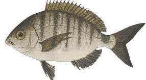Sargoz Balığı