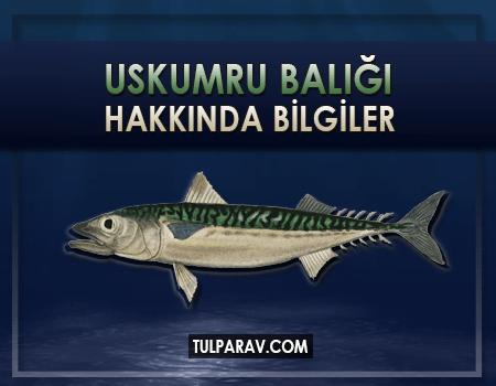 Uskumru Balığı Hakkında Bilgiler
