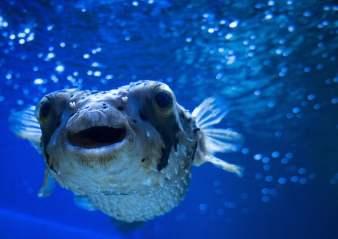 Balon Balığı (Tetrodotoksin)