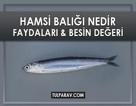 Hamsi Balığı Nedir? Hamsi Balığı Faydaları ve Besin Değerleri