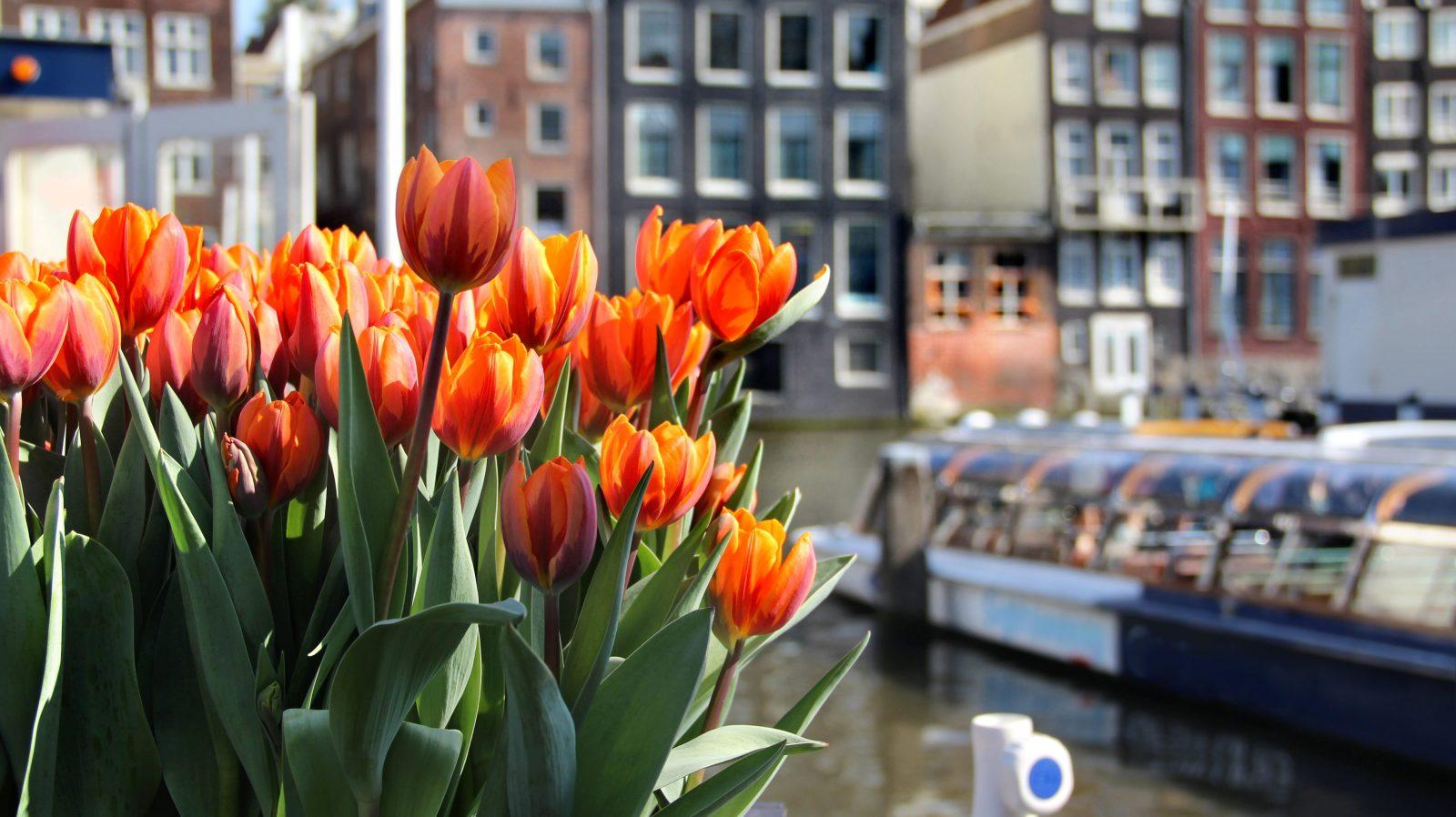 Tulpen in Amsterdam