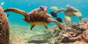 reptile_green-sea-turtles-hawaii_shutterstock_600x300