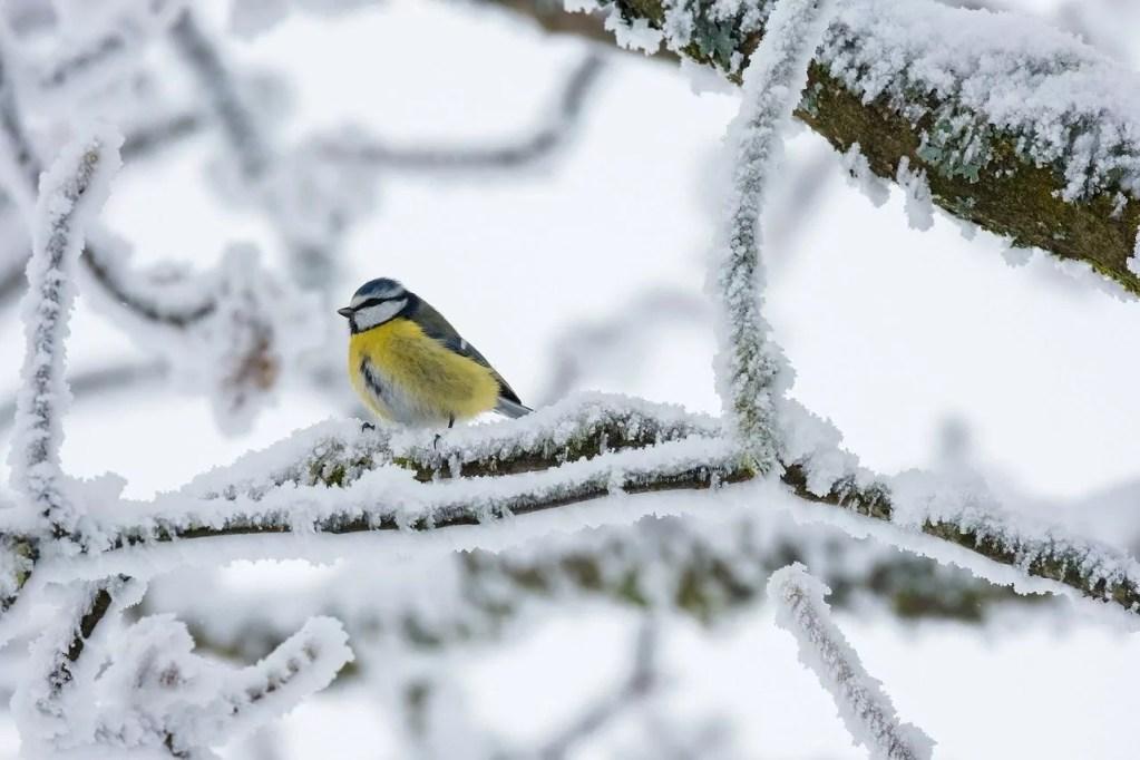 bird, blue tit, winter