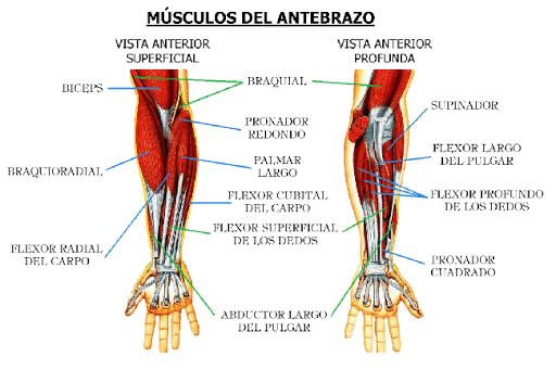 Musculos Antebrazo01