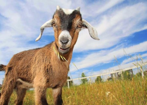 Widow Fined Goat For Mourning Without authority