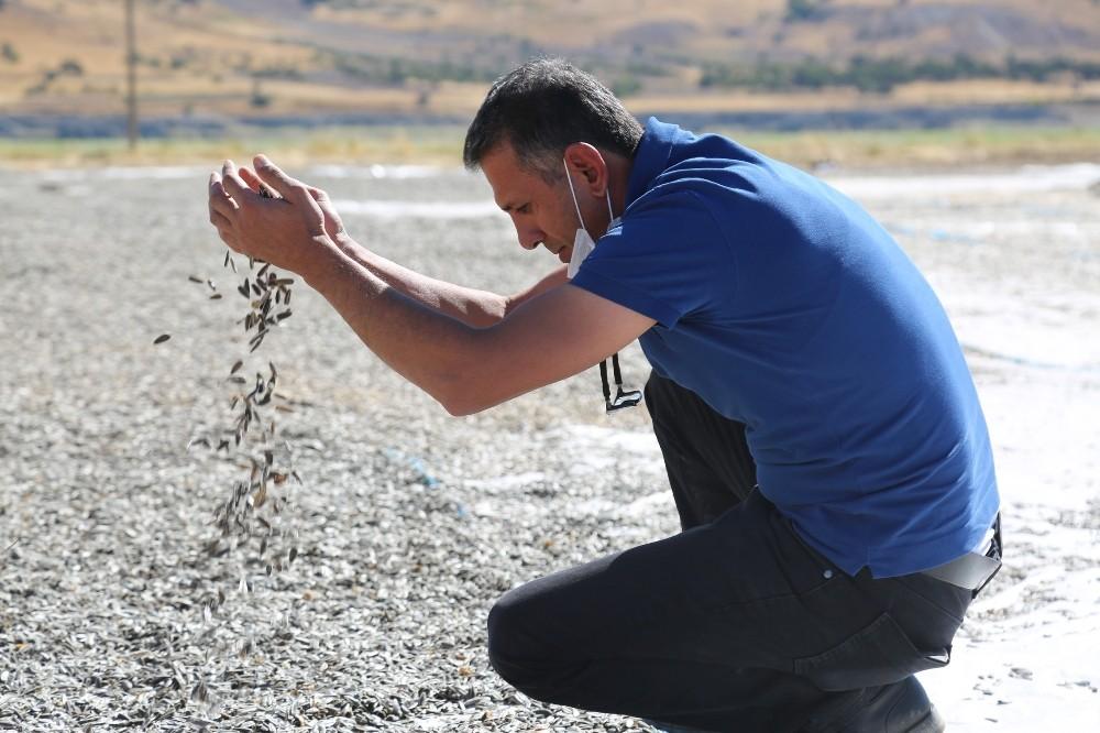 Tunceli'de çekirdek hasadı