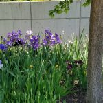 Irises line the paved trails