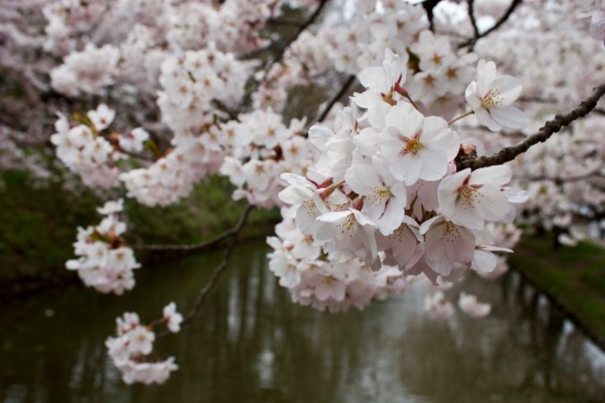 Cherry blossom over water