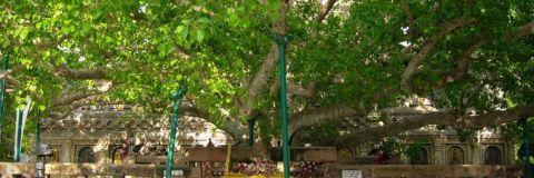 Bodhgaya Tree_