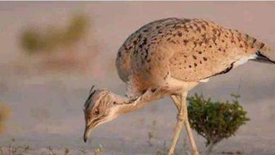 "Photo of جمعية الصيادين بتوزر: تعرضنا ""للهرسلة والترهيب"" من الأمن الرئاسي عند محاولتنا الاقتراب من ""قطريين"" يصطادون طائر الحبارة"
