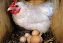Photo of عاجل: تحذير من إستهلاك هذا النوع من البيض و الدجاج