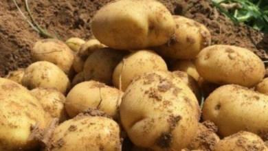 Photo of توريد 3 آلاف طن من البطاطا من مصر : نقابة الفلاحين تحتج
