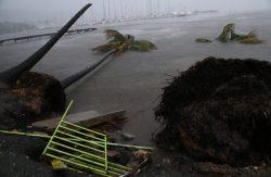 شجر معمر اقتلع من جذور من قوة إعصار إيرما