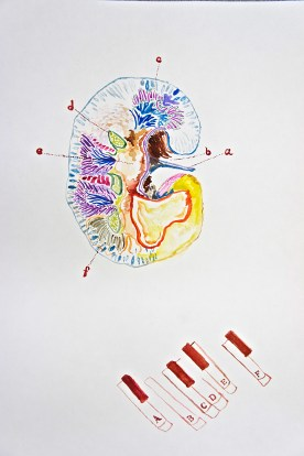 THE KIDNEY - gauche on paper. this was actually my first time using gauche, super cool flexible stuff!! the image is a kidney, only slightly anatomically inaccurate like the others haha, with letters pointing to the parts that correspond with the piano keys below. its kinda like the different notes/sounds/keys i don't know the right word that make up the kidney since the kidney is so important all these parts play a role in the melody of life which now sounds very very very cheesy out loud.