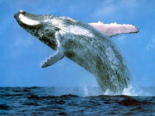 La ballena parece saltar feliz por la buena noticia. Foto www.radiodelmar.