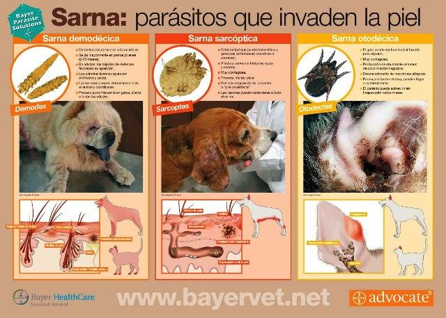 Sarna, un parásito común en los animales