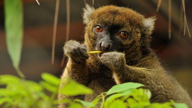 Zelena, la lemur, foto F.Grandin/MNHN