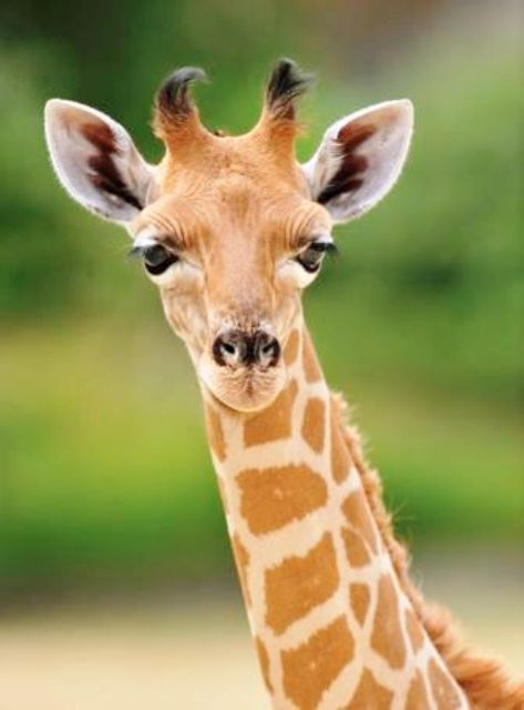 Adelina, la jirafa, foto F.Grandin/MNHN