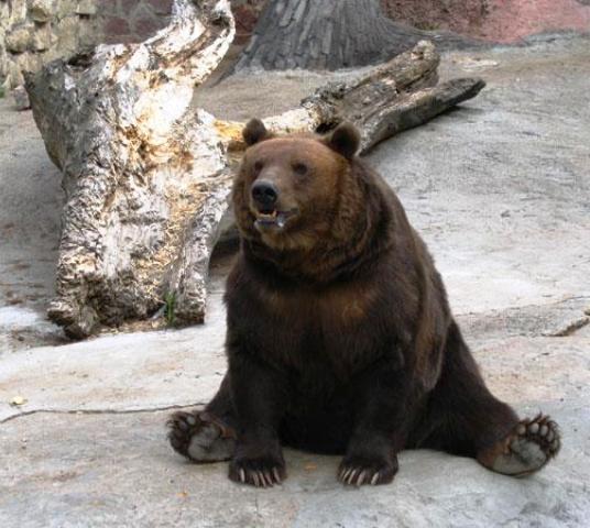 Oso en el Zoo de Moscú