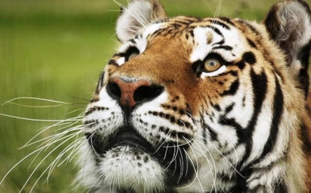 Un crimen sacrificar tigres para alimentar humanos