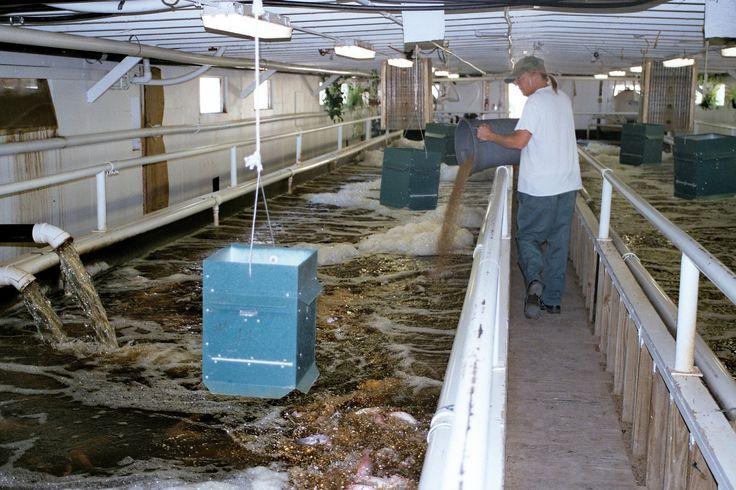 La picicultura de la tilapia es otra de las industrias en la CCI