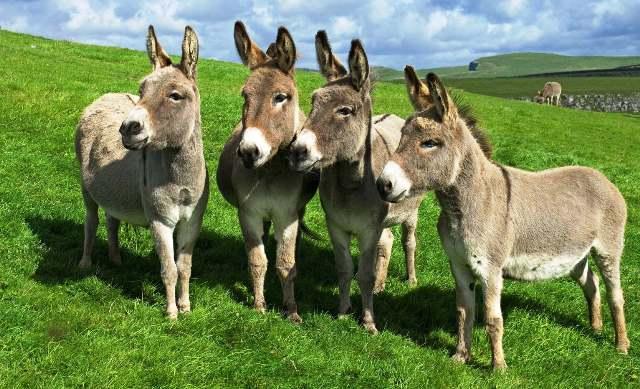 los-burros