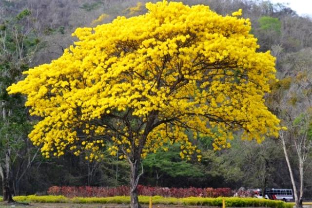 El araguaney árbol nacional de Veezuela