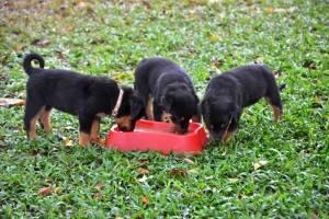 ¡Kaiser, Hanny y Soka no pueden resistirse al delicioso sabor de Nnapetsmart! El alimento tiene una alta palatabilidad y a su mascota le encantará