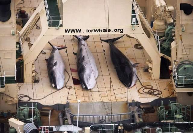 Carcasas de ballenas protegidas