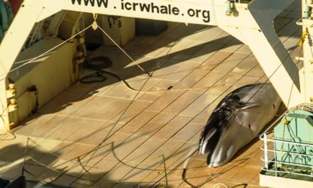 Barcos con tecnología de punta para cazar ballenas