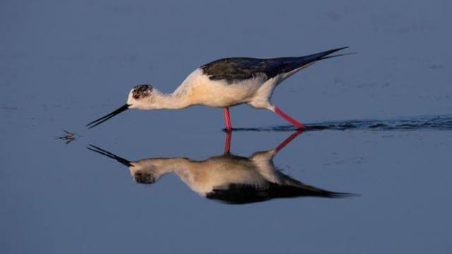 Cigueñuela Común. Foto Artur Stankiewic-Audubon Photography Awards