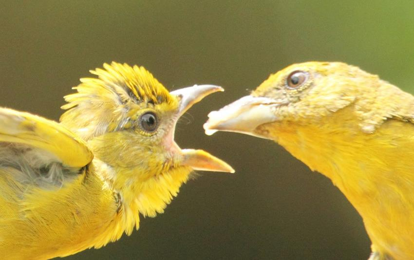 Colibri cola de hoja, IVIC, Miranda-Foto Edglorys Maris
