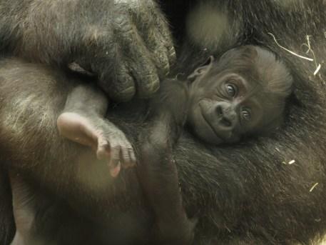 GAIKA, cría de gorila Zoo Aquarium de Madrid