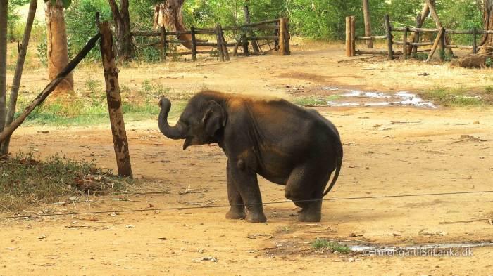 Elefantungen Namal, TV darling fra BBC dokumentaren Sri Lanka Elephant Island