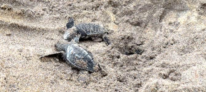 Telwatta Turtle Hatchery, Hikkaduwa