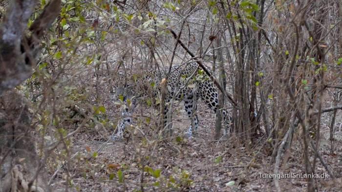 Leoparden vil helst være i fred for mennesker - Her i Yala National Park, Sri Lanka