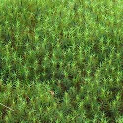 image of haircap moss