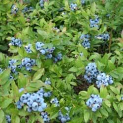image of lowbush blueberry native sod for natural landscaping