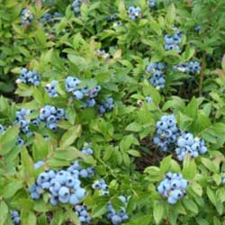 image of lowbush blueberry native sod for natural landscaping
