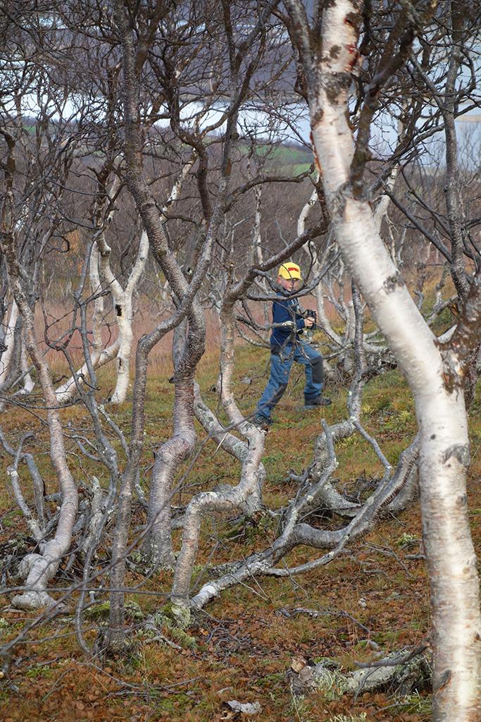Marius jakter blant fjellbjørk