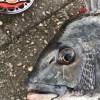 【へちカニ】リベンジ釣行で意地でも釣る!!3月のアタリは底からちょっと上の棚!?渋いアタリでメタルチューンヘチブチ曲がりで入魂完了。