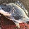 北港スリット漢のレーダーヘチ釣りの集大成の日。諦めない釣法で引き出しフルオープンの末52.5㎝おチヌ様ゲット!!