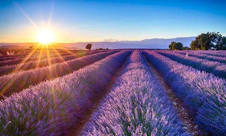 Campos de Lavanda em Provence