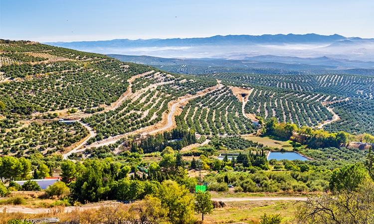 campos de oliveiras em jaén na espanha