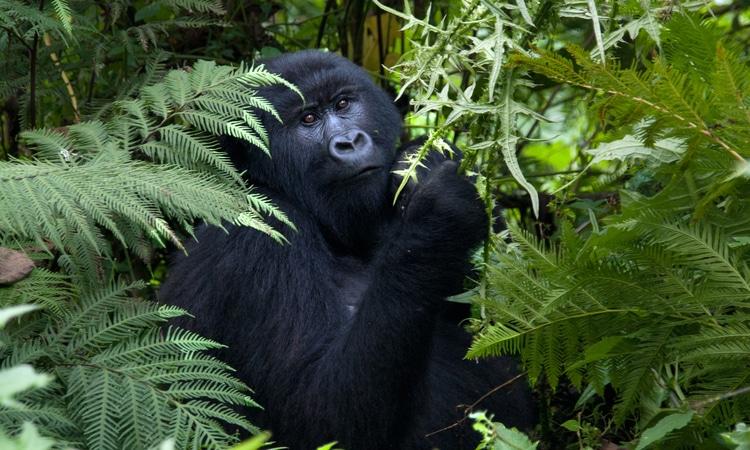 Documentário Virunga