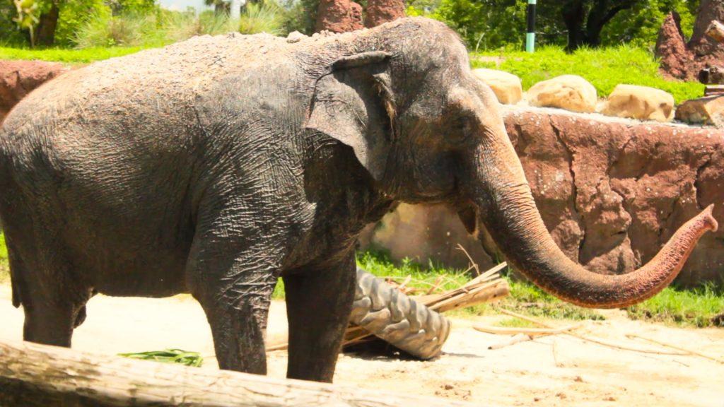 Elefantes, parte da África no Busch Gardens