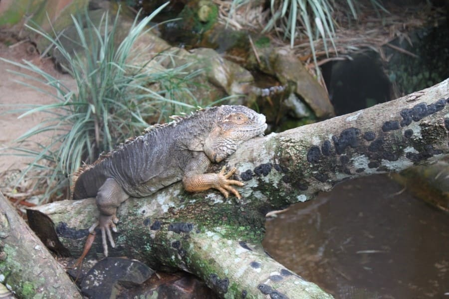 O Parque das Aves também abriga alguns répteis, como um iguana.