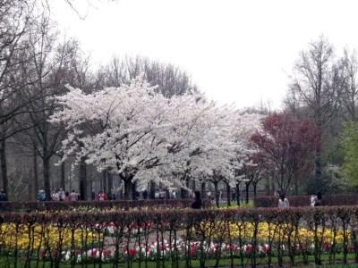 keukenhof cerejeira 768x576 O parque das tulipas de Keukenhof, na Holanda