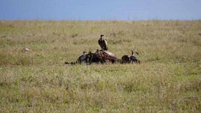 Serengeti - eagle