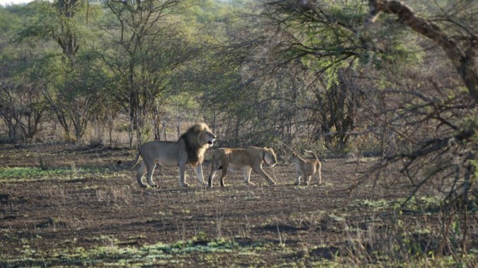 Serengeti - lion family2